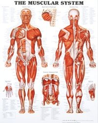 Laminated Anatomy Charts