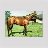 Alnasr Alwasheek Horse