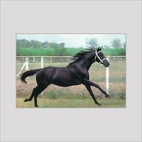 MALVADO HORSE