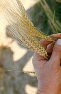 Feed Barley