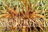 Cultivating Coleus Root