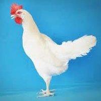 Chicken Layer Feeds