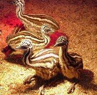 Emu Grower Feed