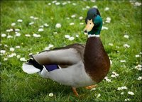 Duck Grower Feed