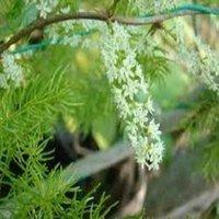 Shatavari (Asparagus-Racemosus)