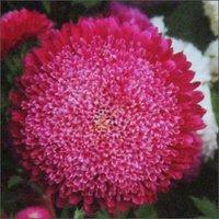 Aster Brilliant Seeds