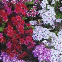 Phlox Twinkle Star Seeds
