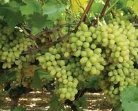 Grapes Growth Paclobutrazol