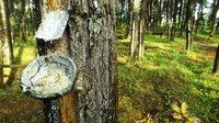 Indonesian Oleo Pine Resin