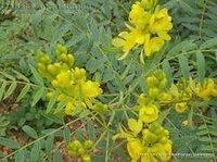 Cassia Angustifolia Seeds