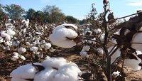 Raw Cotton V-797