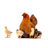 Chicken Feed Additives
