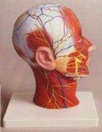 Human Half Head