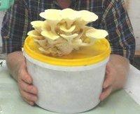 Pleurotus Citrinopileatus Colour Oyster Mushroom