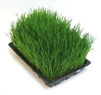 Barley Grass Powder