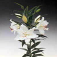 Crystal Blanca Oriental Cut Flowers
