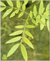 Senna Leaves (Cassia Angustifolia)