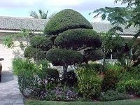 Landscaping Services With Ficus Topiyarie