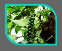 Black Pepper Oil Extraction