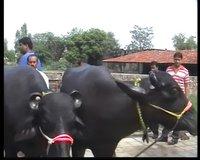 Murrah Bulls