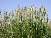 Ayurvedic Psyllium Plant