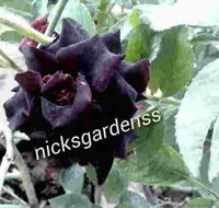 Black Rose Plants