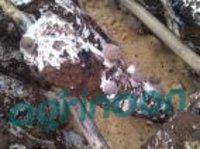 Shiitak Mushroom Spawn