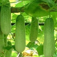 Cucumber Reshma Seeds