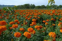 Deep Orange Marigold Seed