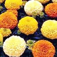 Marigold Yellow, Gold, Orange Shade Seeds
