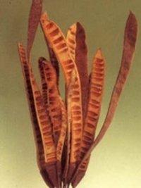 Natural Dried Flowers-Acacia