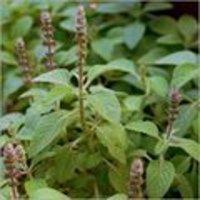 Coleus Medicine Plant