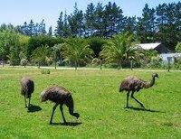 Poultry Emu Birds