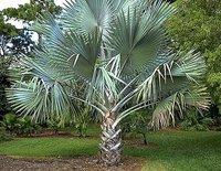 Bismarkia Palm Tree
