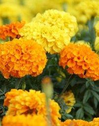 Marigold Rodeo Royal Mixed Seeds