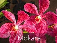 Mokara Flowers