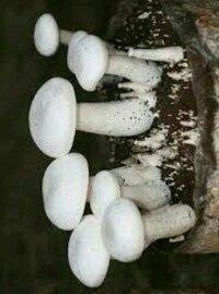 Organic Milky Mushrooms