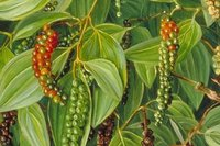 Black Pepper Extract Piper Nigrum