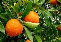 Valncia And Navel Orange