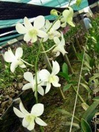 Sannan White Orchid Flower