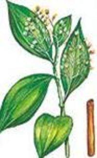 Cinnamon Cassia Extract