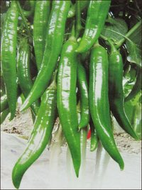 Chilli Seeds (No 628)