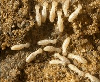 Termites Pest Control Services