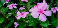 Nithyakalyani Flower