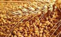 Milling Wheat Grade 2