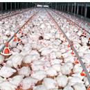 Paschim Banga Poultry Mela 2018