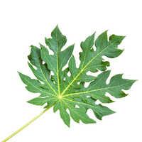 Papaya Leaves