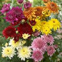 Chrysanthemum Plants